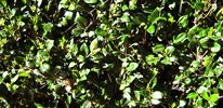 Japanese/Texas privet (Ligustrum)