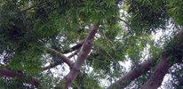 Podocarpus (yew, icee blue, gracilior)