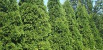 Juniper (Juniperus)