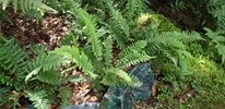 ferns have a natural, woodland appeal