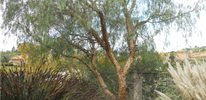 Pepper Tree