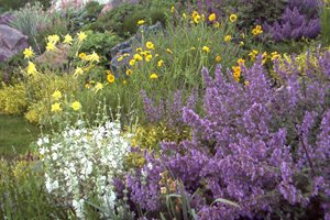 Purple Yellow Xeriscape Blooms J&S Landscape Longmont, CO