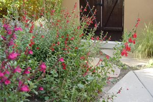 Salvia Maureen Gilmer Morongo Valley, CA