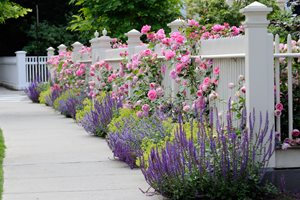 White Picket Fence, Purple Plants, Pink Roses Landscaping Network Calimesa, CA