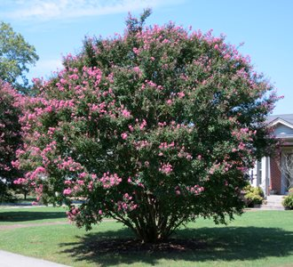Crape Myrtle, Pink Tree flickr