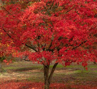 Red Maple, Fall Tree flickr