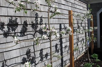 Espaliered Apple Trees. Nilsen Landscape Design Boston, MA