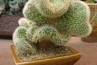 Pot Cactus