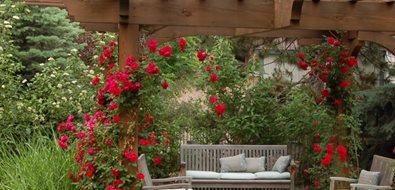 Patio Cover Climbing Roses