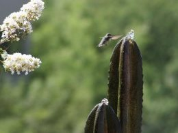 cactus humming bird