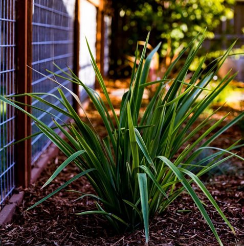Drought Tolerant, Plant, Fence Greener Environments Los Osos, CA