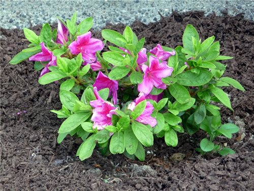 azaleas and what is the difference. . best landscaping with, Natural flower