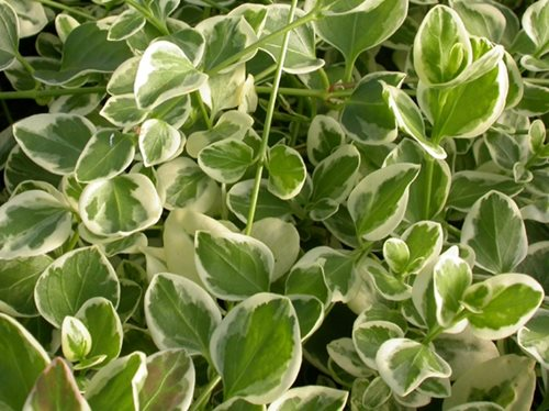 Variegated Shade Plants Landscaping Network