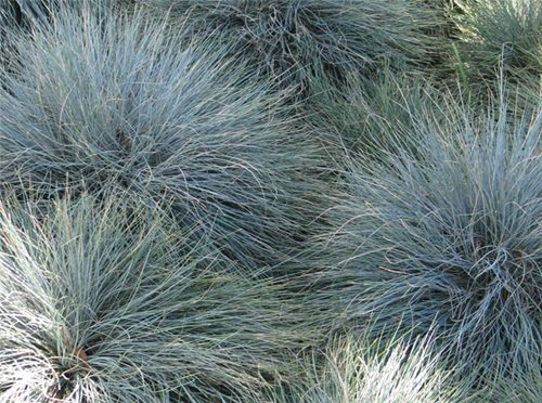 Using ornamental grasses for residential landscaping for Small blue ornamental grass