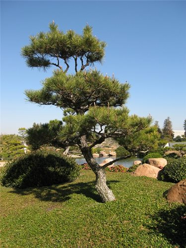 Japanese garden plants landscaping network for Small trees for japanese garden