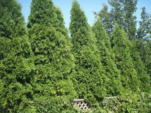 Landscaping Screening Trees : Privacy screening plants landscaping network
