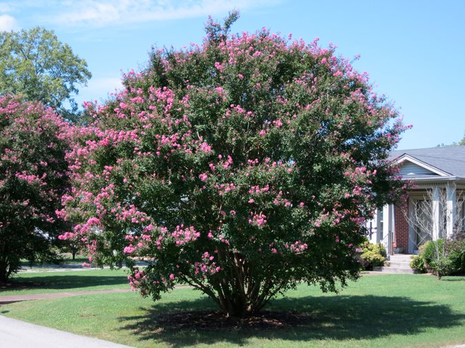 E Myrtle Pink Tree Flickr