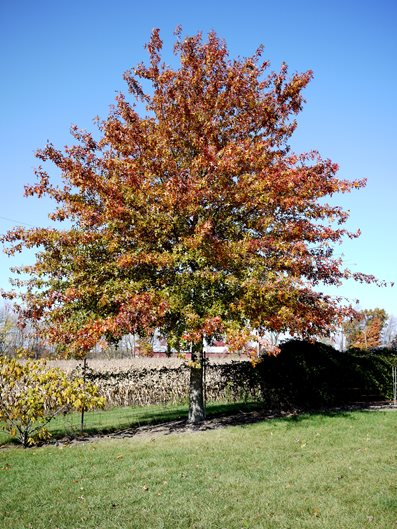 Top Trees for Your Front Yard - Landscaping Network