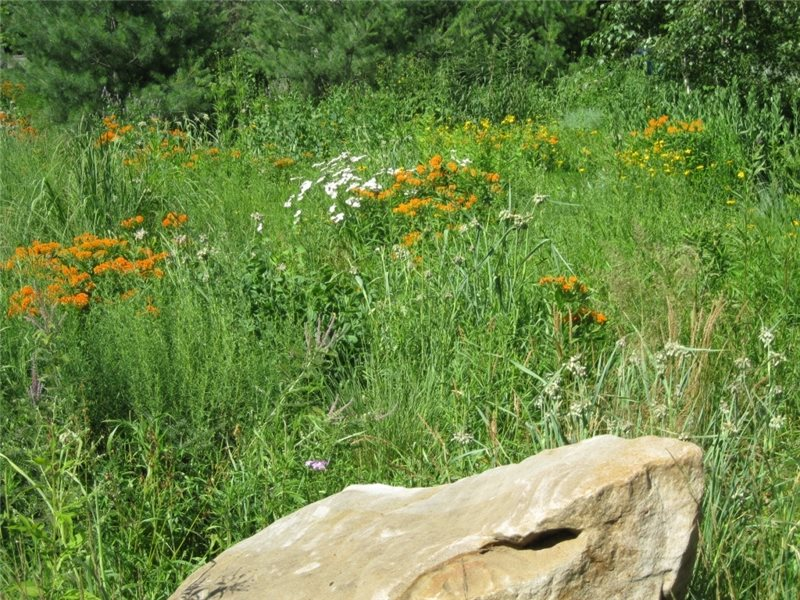 Native Plants, Minnesota Plants Garden Design EnergyScapes, Inc.  Minneapolis, MN