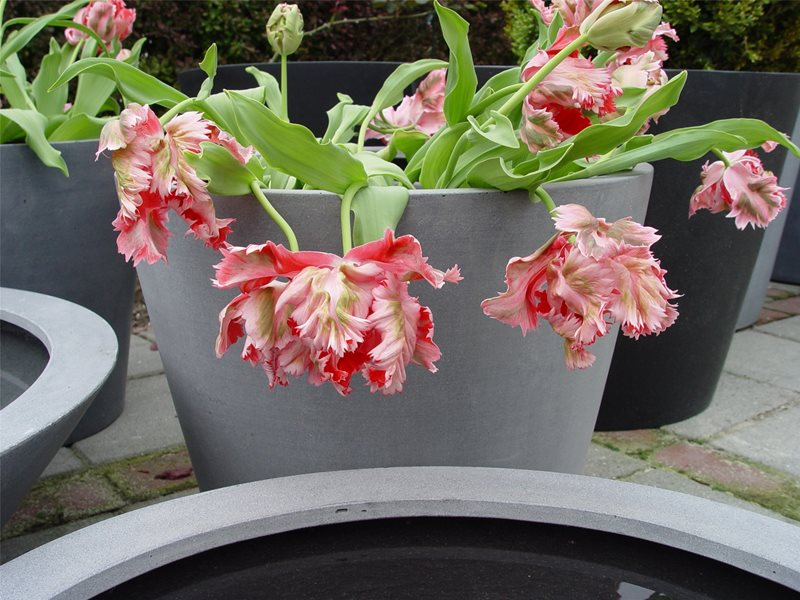 Red Parrot Tulips, Pink Parrot Tulips, Container Plant Garden Design Maureen Gilmer Morongo Valley, CA