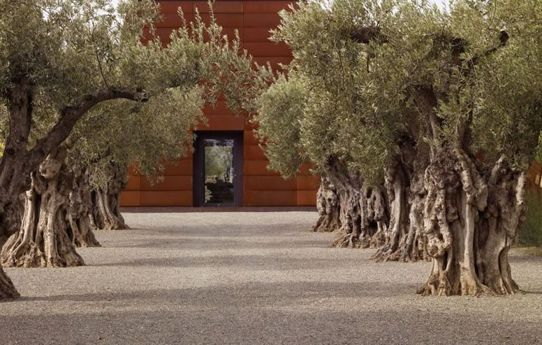 Olive Trees, Mediterranean Landscaping Mediterranean Landscaping Andrea Cochran Landscape Architecture San Francisco, CA