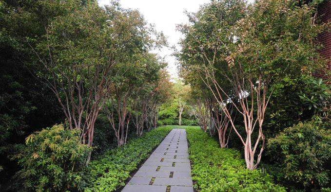 Walkway Trees, Allee Walkway and Path Allworth Design Landscape Architects Seattle, WA