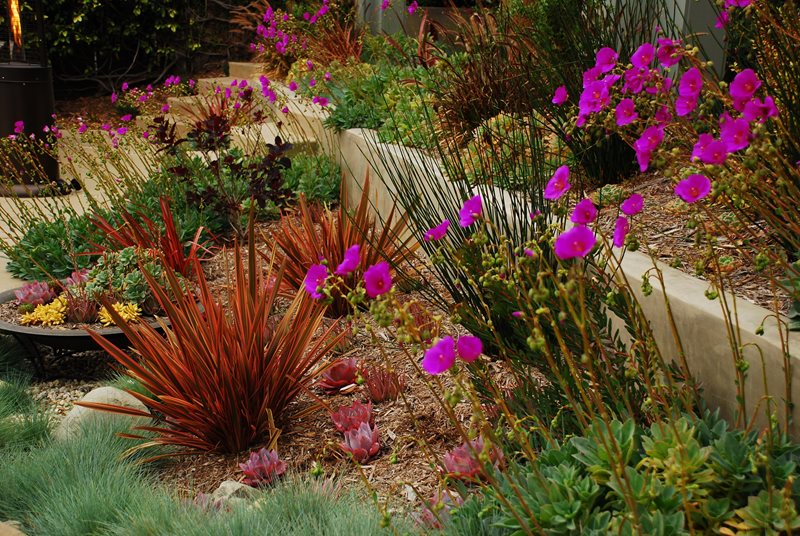 Colorful Drought Tolerant Landscape Xeriscape Landscaping Stout Design Build Los Angeles, CA