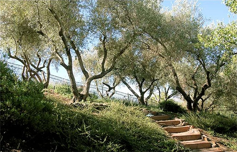 Fruitless Olive Trees Ideal For California Landscaping