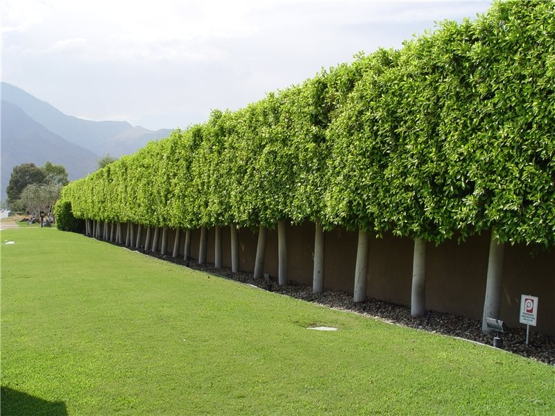 Privacy Hedge Bushes