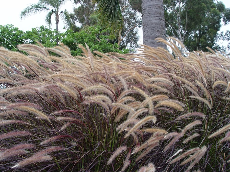 Winter landscaping plants landscaping network for Tall grass looking plant