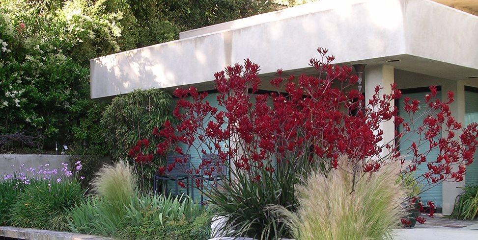 Kangaroo Paws Z Freedman Landscape Design Venice, CA
