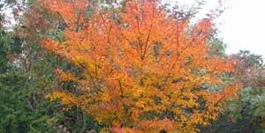Orange Leaves, Crape Myrtle Barry Block Landscape Design & Contracting East Moriches, NY
